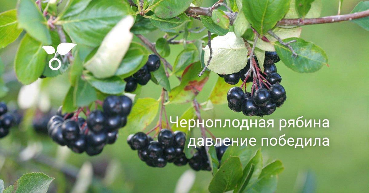 Как выглядят листья черноплодной рябины