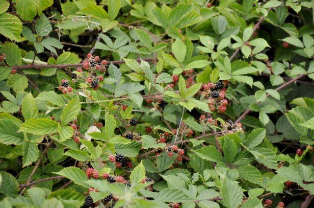 Ежевика (Rubus fruticosus L.)