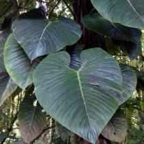 Ph. ornatum (Ph. imperiale, Ph. sodirai) - Филодендрон украшенный