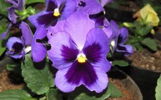 Фиалка Виттрока, или садовые анютины глазки (Víola × wittrokiana)