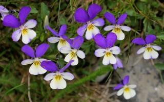 Анютины глазки, или Фиалка трёхцветная (Viola tricolor)