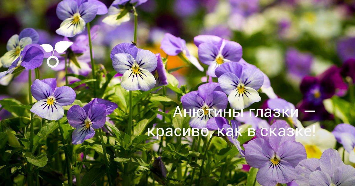 Сколько цветут анютины глазки
