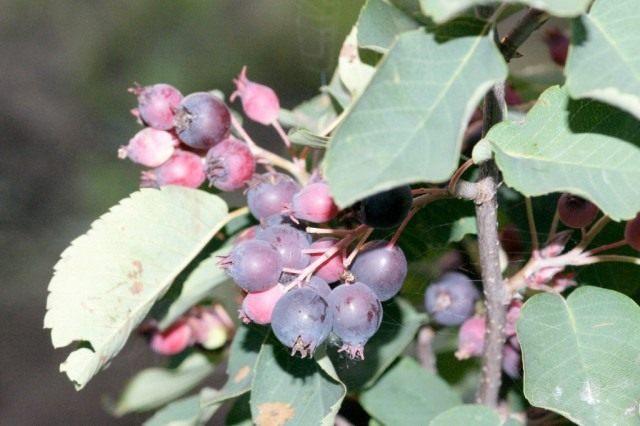 Созревающие ягоды ирги
