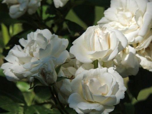 "Роза Флорибунда ""Carte Blanche"""