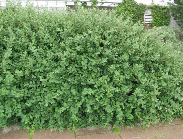 Кизильник цельнокрайний, или обыкновенный (Cotoneaster integerrimus)