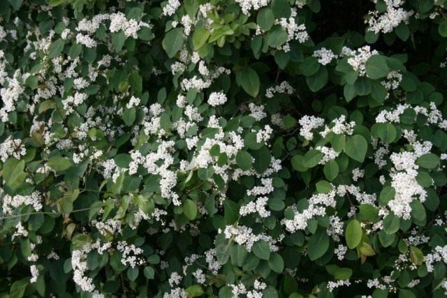 Кизильник многоцветковый (Cotoneaster multiflorus)
