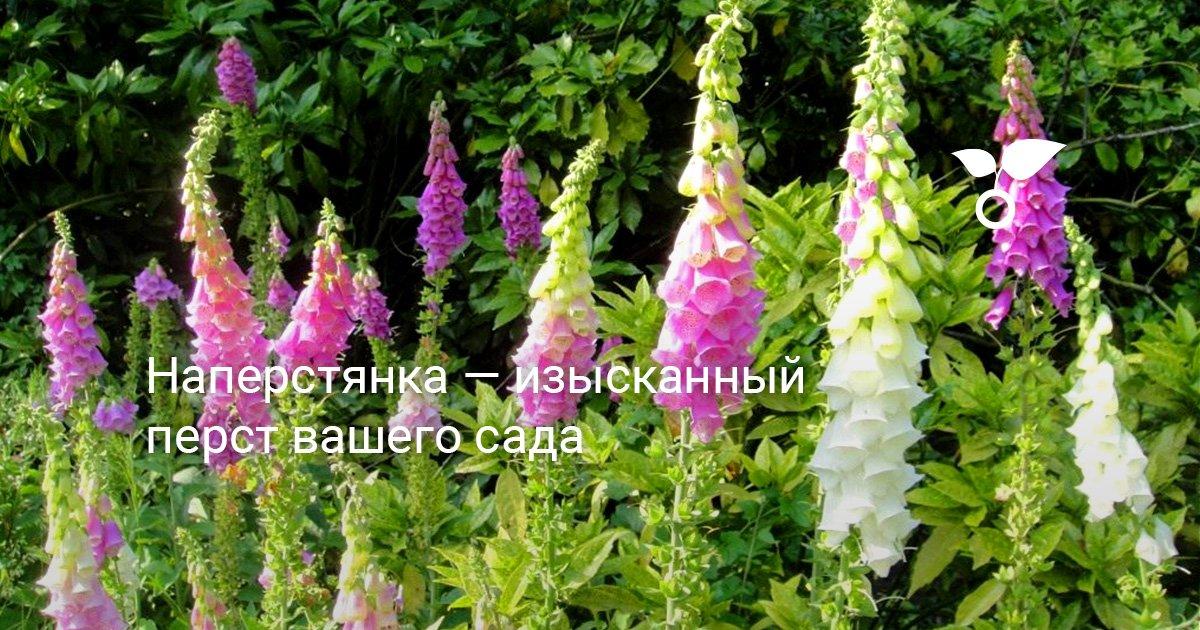 Наперстянка описание растения