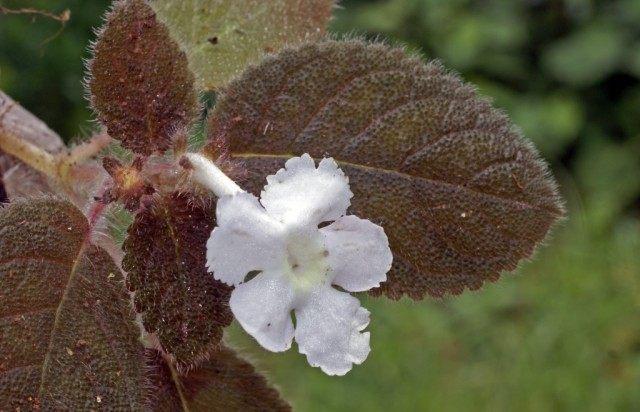 Эписция лиловая (Episcia lilacina)