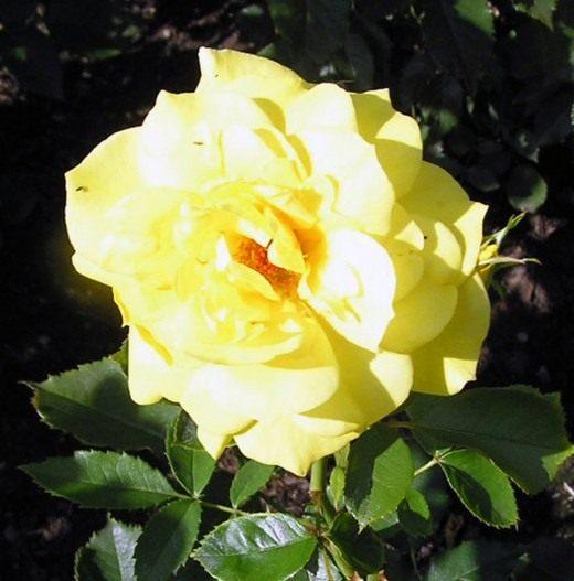 "Роза Флорибунда ""Friesia"""