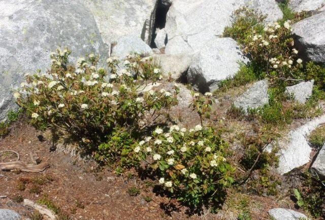 Багульник гренландский