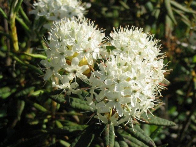 Рододендрон гренландский, или Багульник гренландский (Ledum groenlandicum)