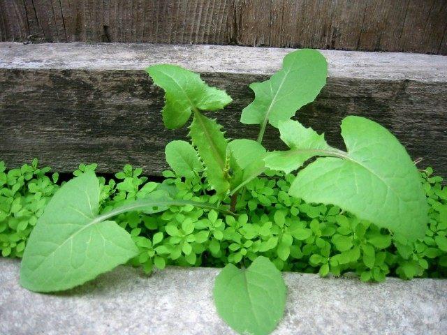 Молодое растение осота
