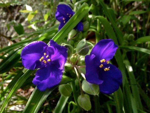 Традесканция виргинская (лат. Tradescantia virginiana)