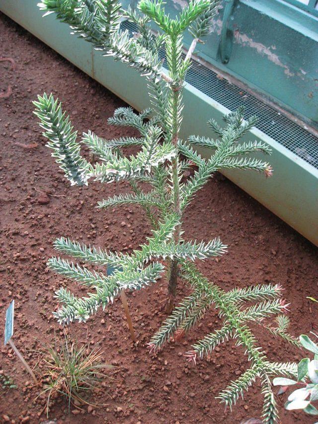Араукария горная (Araucaria montana)