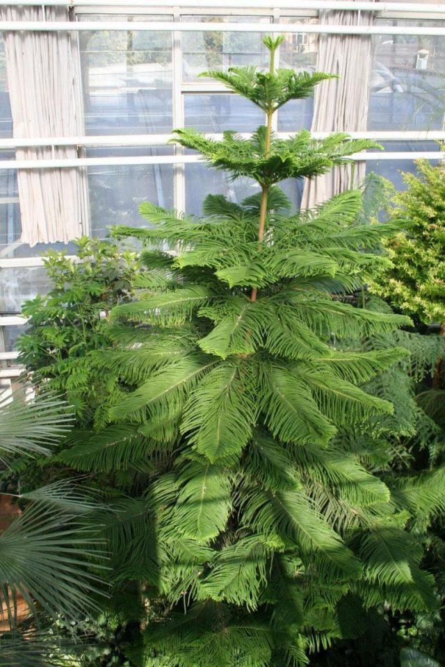 Араукария колонновидная, или араукария Кука (Araucaria columnaris)