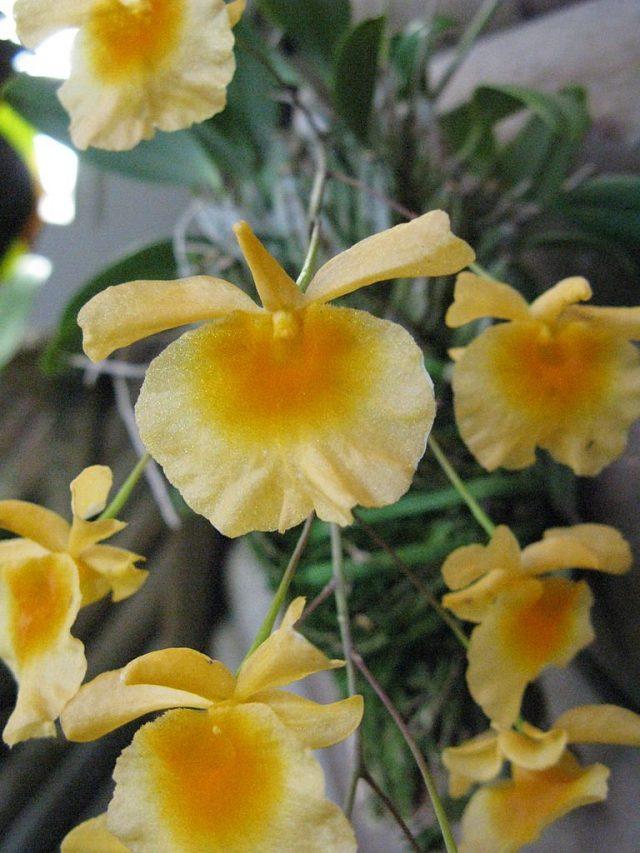 Дендробиум линдли (Dendrobium lindleyi)
