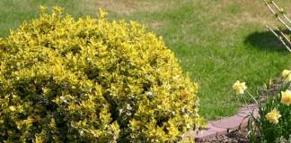 Бересклет Форчуна «Эмеральд Голд» (Euonymus fortunei 'Emerald Gold')