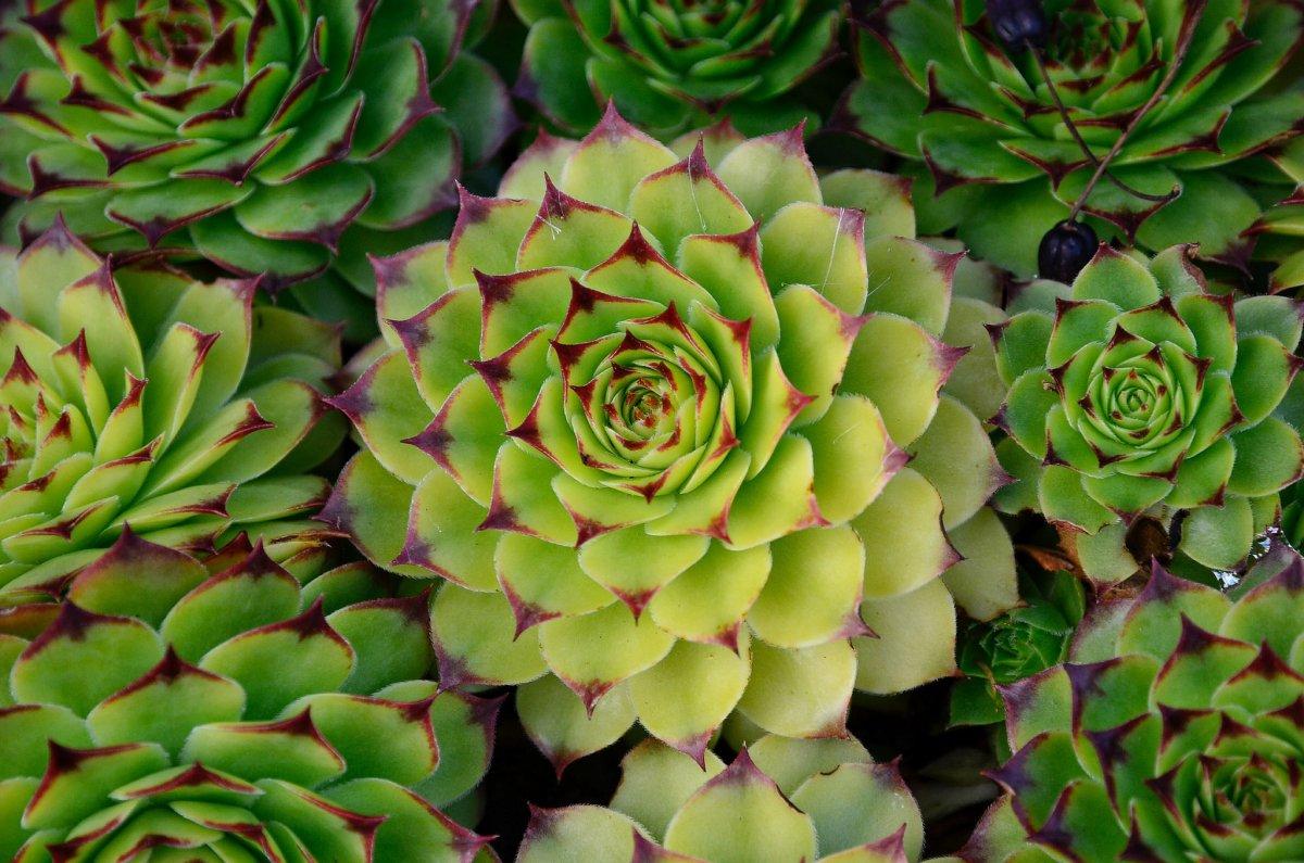 действительно заячья капуста растение фото обратиться большой энциклопедии