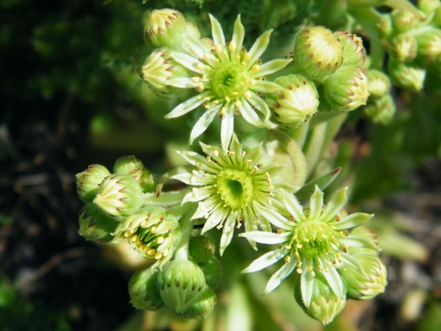 Молодило русское (Sempervivum ruthenicum)