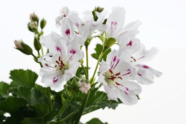 Пеларгония (Pelargonium)