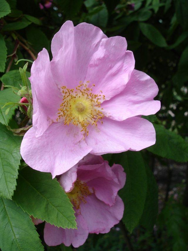 Роза (шиповник) даурская (Rosa davurica Pall)
