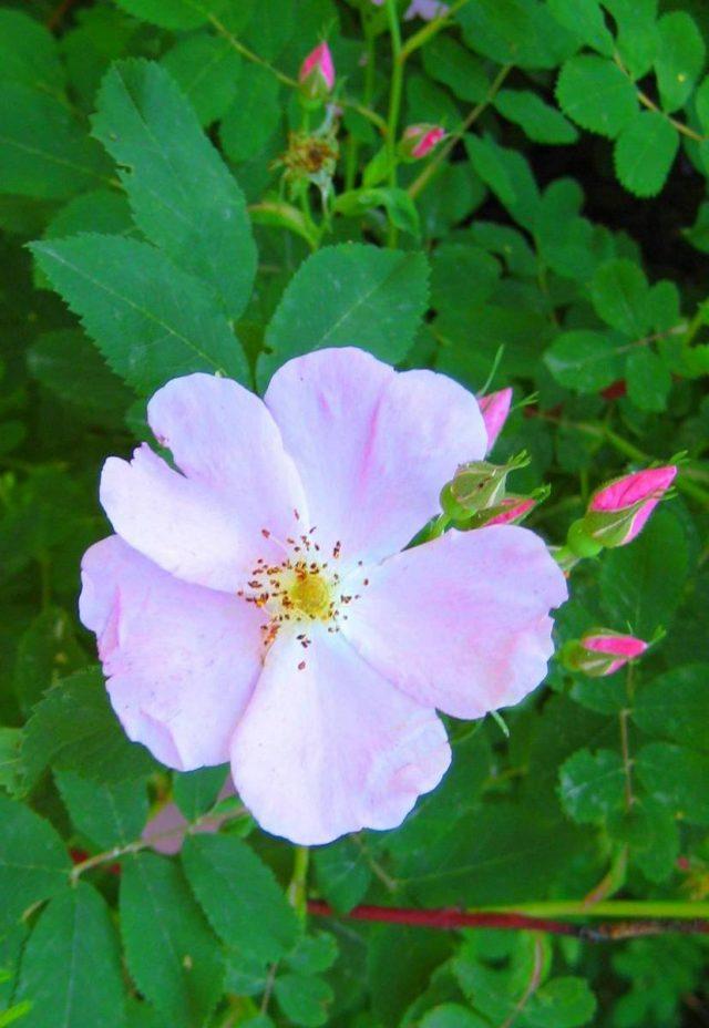 Роза (шиповник) иглистая (Rosa acicularis Lindl)