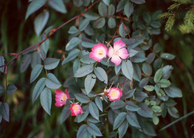 Роза (шиповник) сизая, или краснолистная (Rosa glauca Pouir)