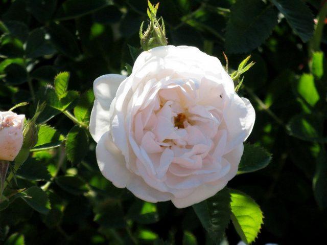 Роза (шиповник) белая (Rosa alba)