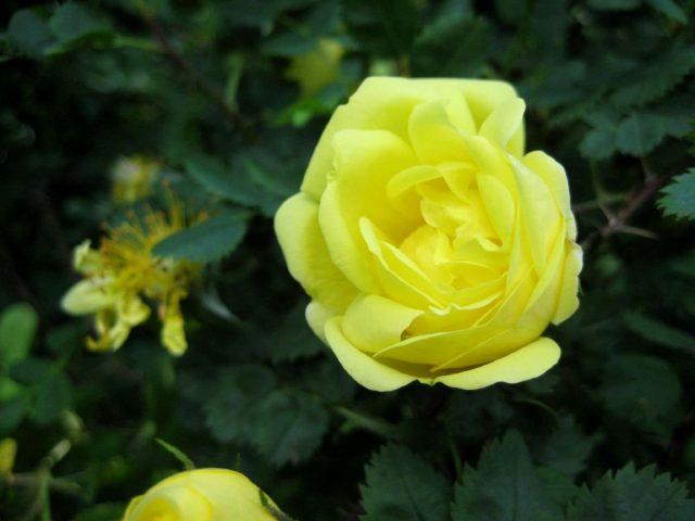 Роза (шиповник) вонючая, или желтая (Rosa foetida Herrm)