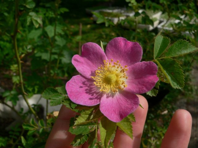 Роза (шиповник) ржавчинная (Rosa rubiginosa L.)
