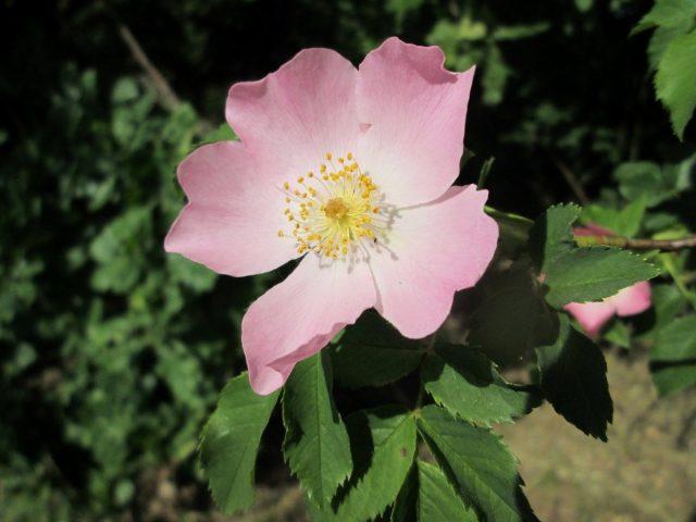 Роза (шиповник) собачья, или обыкновенная (Rosa canina L.)