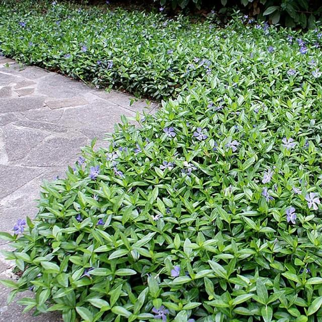 Барвинок выращивание рассады из семян Посадка и уход в открытом грунте Сорта Фото и видео