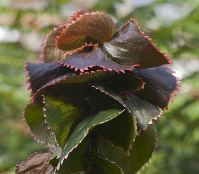 Акалифа Вилкеза (Acalypha wilkesiana)