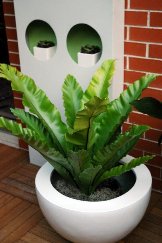 Асплениум гнездовой, или Костенец гнездовой (Asplenium nidus)