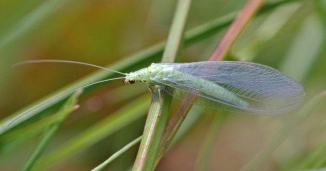 Златоглазки (Chrysopidae)