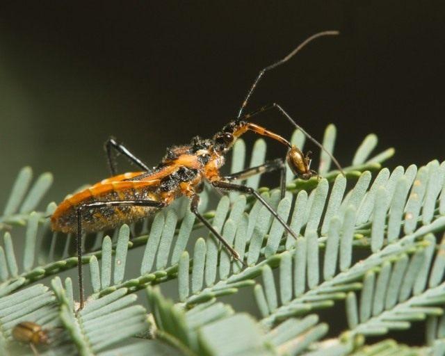 Клоп Gminatus australis с пойманным жуком