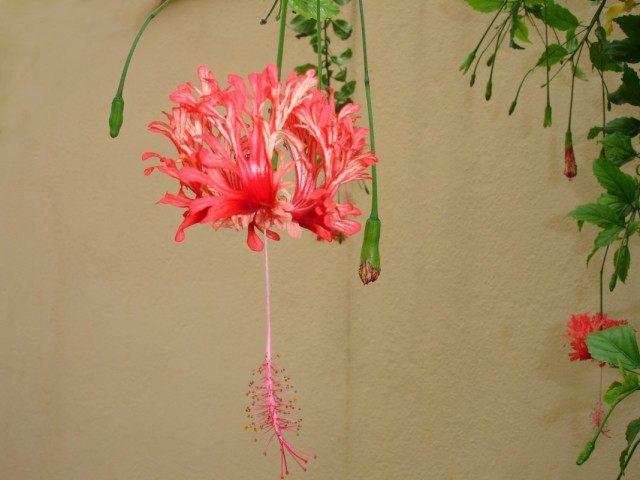 Гибискус рассеченнолепестной (Hibiscus schizopetalus)