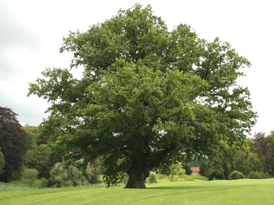 Через сколько лет плодоносит дуб