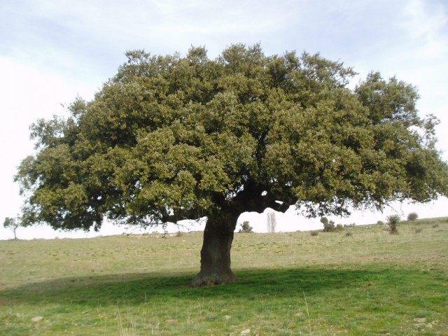Дуб каменный (Quercus ilex)