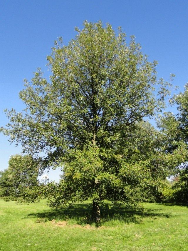 Дуб крупноплодный (Quercus macrocarpa)