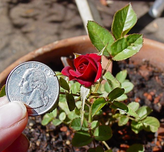 Благодаря малым размерам миниатюрные розы удобно использовать и в качестве бордюрных растений, для скальных садиков, живых изгородей, в штамбовой форме и горшечной культуре