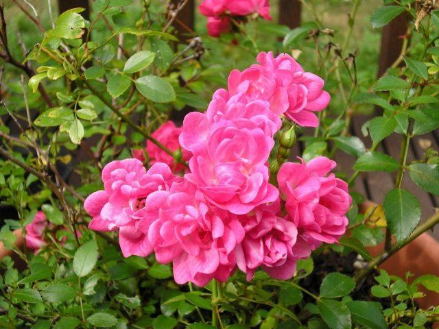 В течение лета миниатюрные розы необходимо поливать и подкармливать