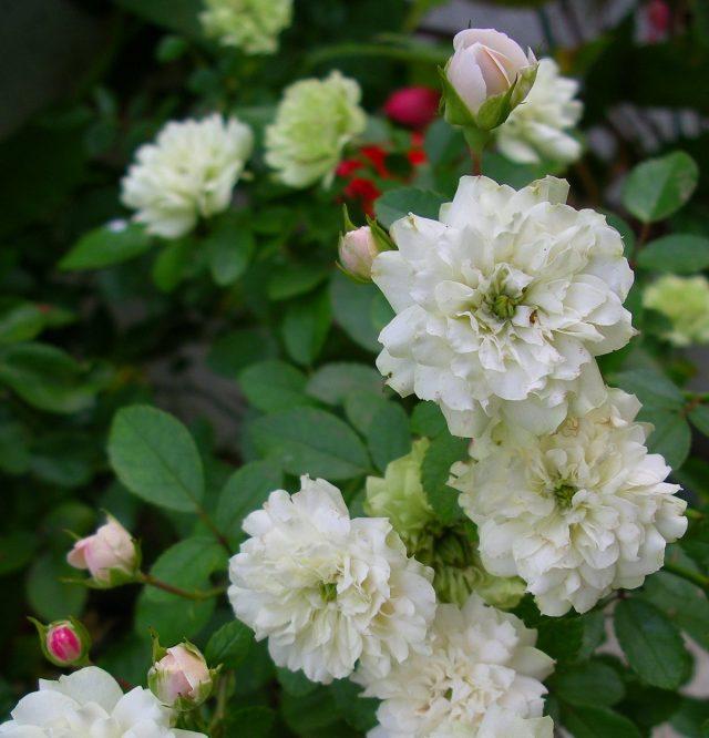 Если у вас есть возможность и желание нянчиться с миниатюрными розами, они будут прекрасно цвести на подоконнике в течение всего года