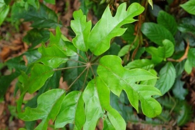 Шеффлера восьмилисточковая (Schefflera octophylla)