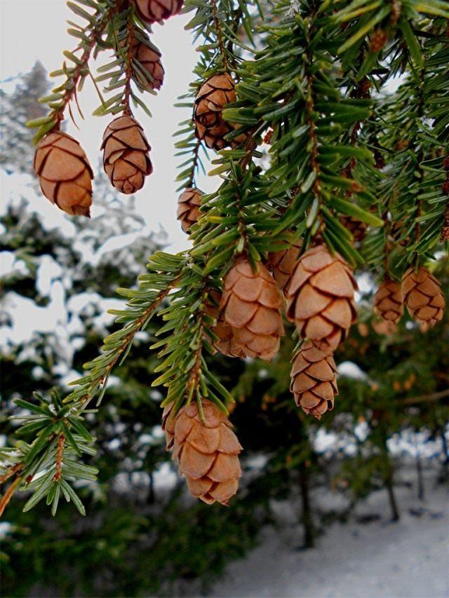 Шишки на ветвях тсуги канадской