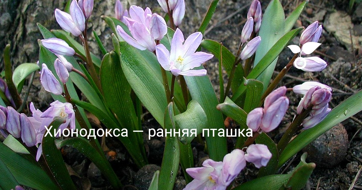 Растение хионодокса