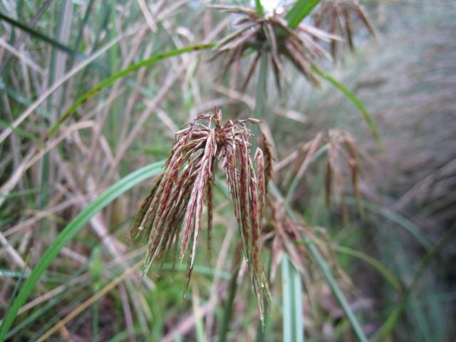 Сыть, или Ситовник, или Циперус (лат. Cyperus)