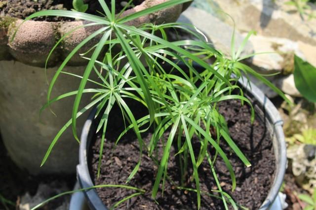 Циперус зонтичный (Cyperus alternifolius)