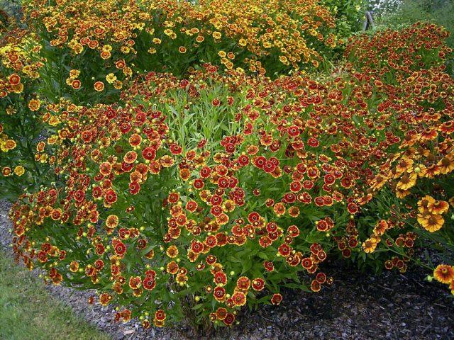 Высаживают гелениум на заднем плане больших цветников, около декоративных кустарников, группами или одиночно