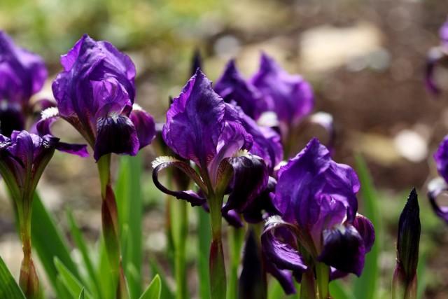 Ирис безлистный (Iris aphylla)